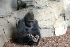 Gorila rascandose el pie. Silver gorilla touching foot royalty free stock photography
