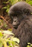 Gorila rodeado por la maleza que mira fijamente en distancia Fotos de archivo