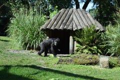 Gorila`s house. Gorila in a zoo in Florida stock image