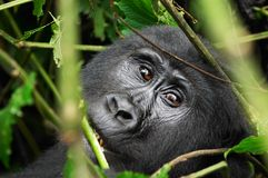 Gorila salvaje imagenes de archivo