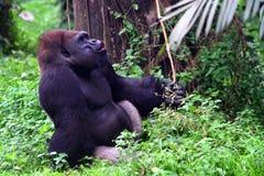 Gorila on jungle, gorila lonely. Gorila singing, babon, gorila lonly stock photos