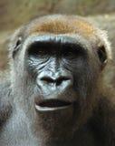 Gorila surpreendido fotografia de stock