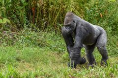 Gorila traseiro da prata foto de stock