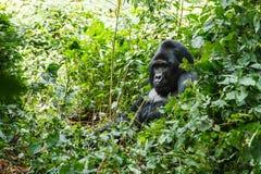 Gorila traseiro da prata Fotos de Stock Royalty Free