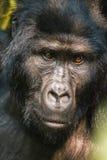 Gorila traseiro da prata Fotos de Stock