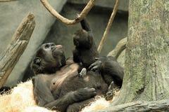 Gorila y bebé Imagen de archivo libre de regalías