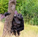 Gorila y bebé Imágenes de archivo libres de regalías