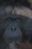 Gorila. In Zoo of Sao Paulo stock photos