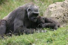 Gorilas Imagen de archivo libre de regalías
