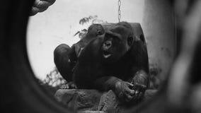 Gorilas al aire libre metrajes