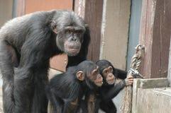 Gorilas de los expertos Foto de archivo libre de regalías