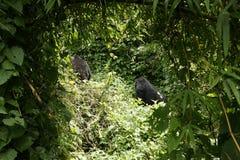 Gorilas de montaña Fotos de archivo libres de regalías