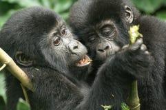 Gorilas de montaña Fotografía de archivo