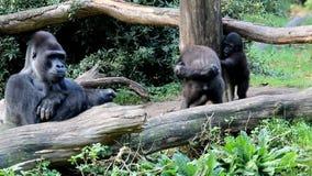 Gorilas jovenes desafiadores almacen de metraje de vídeo
