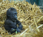 Gorilla 1 Royalty Free Stock Images