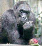 Gorilla 1. Portrait of nice gorilla male Royalty Free Stock Images