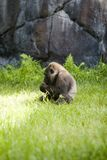 Gorilla. Baby African Gorilla royalty free stock photography