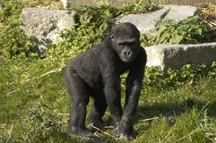 Gorilla. A captive Gorilla at the zoo Royalty Free Stock Image
