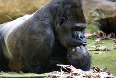 Gorilla. Beautiful silverback mountain gorilla looking stubborn Royalty Free Stock Photography