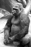 Gorilla. Black and white photo of a gorilla Royalty Free Stock Photography