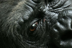 Gorilla. Closeup of gorilla face with open eye royalty free stock photo