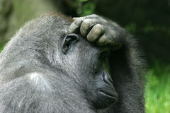 Gorilla. Scratching its head thinking stock image