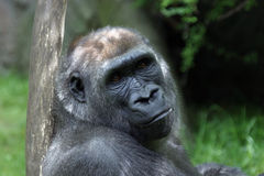 Gorilla. Portrait stock photography
