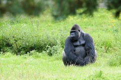 Gorilla. Sit on the grass Royalty Free Stock Image