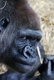 Gorilla. A closeup of a gorilla face Royalty Free Stock Photos