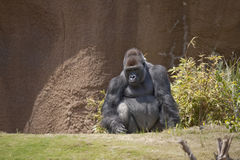 Gorilla. Horizontal image of a male lowland gorilla in a zoo Royalty Free Stock Images