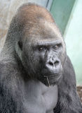 Gorilla 15 Royalty Free Stock Images