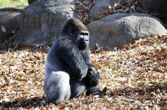 Gorilla Royalty Free Stock Images