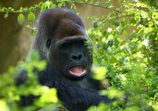Gorilla Stockfotografie
