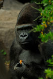 Gorilla. The gorilla is the biggest primate who lives in the Democratic Republic of the Congo Stock Images