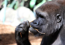 Gorilla. A female Gorilla chewing on a stick close up Royalty Free Stock Image