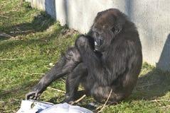 A gorilla Royalty Free Stock Photography