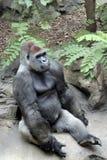 Gorilla. Adult gorilla,Loro park, Tenerife, Spain Royalty Free Stock Photos