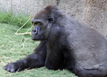Gorilla. Male Silverback Gorilla Relaxing On Grass Royalty Free Stock Photo