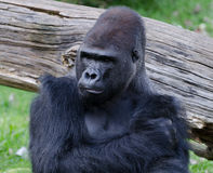 Gorilla. Portrait of a sitting gorilla Stock Image