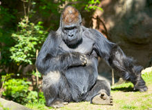 Gorilla. Male silver-back gorilla sitting on a grass Royalty Free Stock Photos
