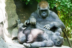 Gorilla. S playing and relaxing in the afternoon sun royalty free stock photos
