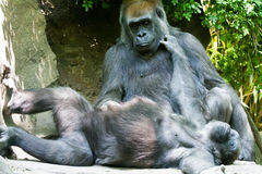 Gorilla. S playing and relaxing in the afternoon sun Stock Photography