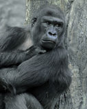 Gorilla. At the Zoo Royalty Free Stock Images
