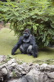 Gorilla. Adult silverback gorilla sitting on grassy glade royalty free stock image