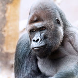 A Gorilla Royalty Free Stock Photo