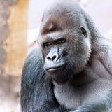 A Gorilla. Gorilla - dominant, 'silverback' adult male - endangered Royalty Free Stock Photo
