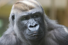 Gorilla Royalty Free Stock Image