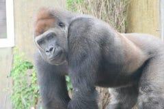 Free Gorilla Royalty Free Stock Photos - 2789318