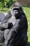 Gorilla 3 Royalty-vrije Stock Afbeelding