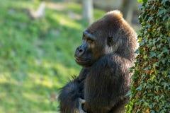 Gorilla Lizenzfreie Stockfotos